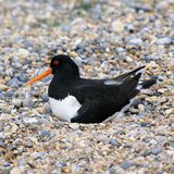 Oystercatcher Reproduction photographique par CM Dixon