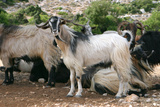 Goats, Kefalonia, Greece Photographic Print by Peter Thompson