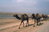 Camel Train Travelling on a Road Alongside the Euphrates Near Nasiriya, Iraq, 1977 Photographic Print by Vivienne Sharp