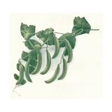 Green Peas, C1908 Giclee Print by  W&G Baird