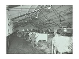 Grooming Cattle in a Cowshed, Claybury Hospital, Woodford Bridge, London, 1937 Photographic Print