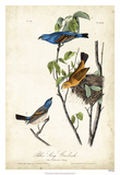 Blue Song Grosbeak Giclee Print by John Audubon