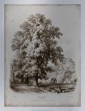 Sepia Elm Tree Premium Giclee Print by George Barnard
