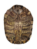 Tortoise Shell Detail I Giclee Print by Naomi McCavitt