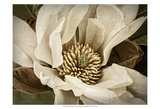 Classic Magnolia II Prints by Rachel Perry