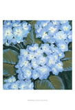 Blue Hydrangeas I Print by Tim OToole