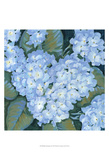 Blue Hydrangeas II Prints by Tim OToole