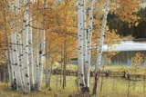 Birch Beauty Print by Mike Jones