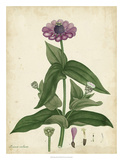 Antique Zinnia Giclee Print by Henry Andrews