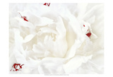 White Linen Peony I Prints by Rachel Perry