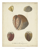 Antique Knorr Shells II Giclee Print by  Knorr