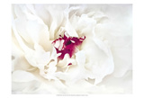 White Linen Peony II Poster by Rachel Perry