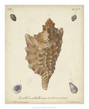 Antique Knorr Shells VI Giclee Print by  Knorr