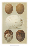 Antique Bird Egg Study III Giclee Print by Henry Seebohm