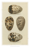 Antique Bird Egg Study VI Giclee Print by Henry Seebohm