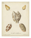 Antique Knorr Shells III Giclee Print by  Knorr