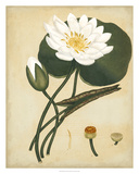 White Water Lily Giclee Print by Henry Andrews