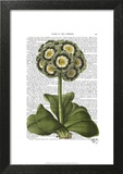 Primula Auricula Blue Posters by  Fab Funky