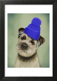 Border Terrier with Blue Bobble Hat Poster by  Fab Funky