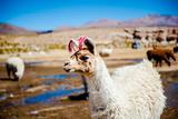 Alpaca, Bolivia Fotografisk tryk af marziafra