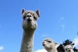 Alpaca Fotografisk tryk af gburba