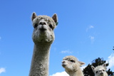 Alpaca Photographic Print by  gburba