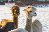 Alpacas in Winter Fotografisk tryk af Emmoth