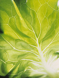 Lettuce Leaf Detail Photographic Print by Peter Rees