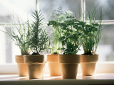 Assorted Herbs Growing in Clay Pots; Window Sill Photographic Print by  Eising Studio - Food Photo and Video