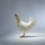 White Chicken Photographic Print by Luzia Ellert