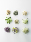Nine Different Types of Sprouted Seeds Photographic Print by Thomas Dhellemmes