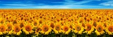 Champ de tournesols Reproduction photographique par Christophe Madamour