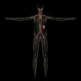 3D Rendering of Human Lymphatic System Posters by  Stocktrek Images