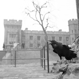 The Royal Ravens - 1955 Papier Photo par Ken Russell