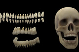 3D Rendering of Human Teeth and Skull Posters by  Stocktrek Images