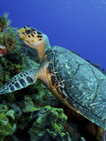 A Feeding Hawksbill Sea Turtle in Cozumel, Mexico Photographic Print by  Stocktrek Images