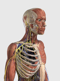 Human Upper Body Showing Muscle Parts, Axial Skeleton, Veins and Nerves Prints by  Stocktrek Images