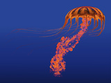 Orange Jellyfish Illustration Print by  Stocktrek Images