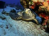 A Hawksbill Sea Turtle Resting under a Reef in Cozumel, Mexico Reprodukcja zdjęcia autor Stocktrek Images