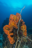 Curly Bright Orange Sponge with Greyish Whip Coral Reprodukcja zdjęcia autor Stocktrek Images