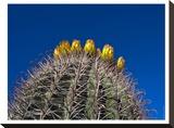 Barrel Cactus Stretched Canvas Print by Murray Bolesta