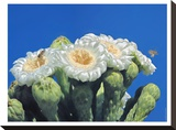 Bees And Saguaro Blossom Stretched Canvas Print by Murray Bolesta