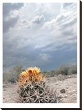 Lonely Cactus Blossom Stretched Canvas Print by Murray Bolesta
