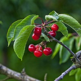 Cherries, Norway Photographic Print by  Arctic-Images