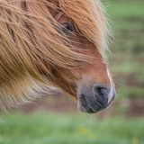 Portrait of Mare, Iceland Photographic Print by  Arctic-Images