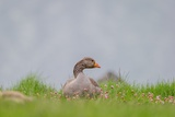 Greylag Goose in Fields, Goslings near By, Iceland Photographic Print by  Arctic-Images