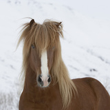 Icelandic Pony Photographic Print by  Arctic-Images