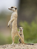 Meerkat and Pup, Namibia Photographic Print by Paul Souders