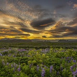 Sunset and Lupines, Myrdalssandur, South Coast, Iceland Photographic Print by  Arctic-Images