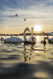 Swans and Ducks in Pond, Reykjavik, Iceland Photographic Print by  Arctic-Images